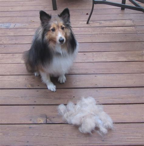 Sheepdog Shedding by Image Gallery Sheltie Shedding