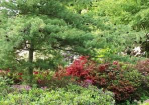 rhododendron garten rhododendron freiland azaleen pflanzen pflegen d 252 ngen
