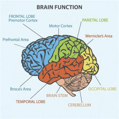 the human frontal lobes third edition functions and disorders science and practice of neuropsychology books best 25 broca s area ideas on brain mapping