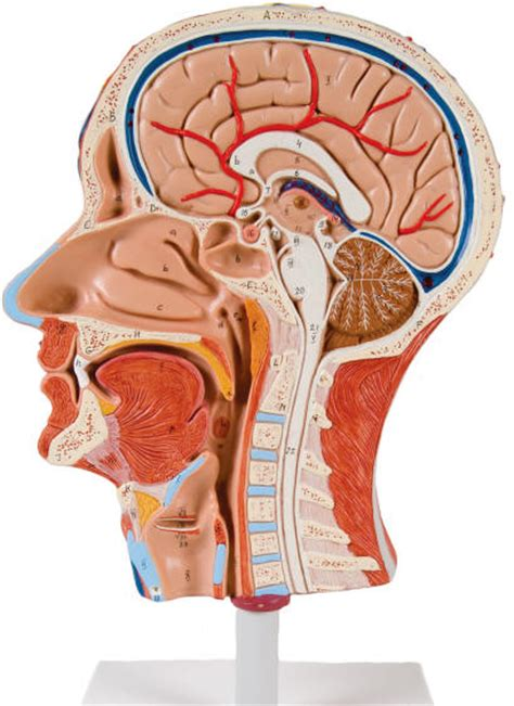 cross section of head sectional models of the human head