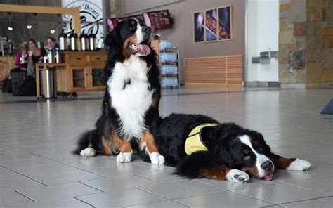 how to therapy dogs airport therapy dogs around america travel leisure