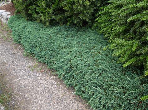 Juniperus Blue Rug by Juniperus Horizontalis 180 Wiltonii 180 Conifers Assortment Shop Kordes Jungpflanzen