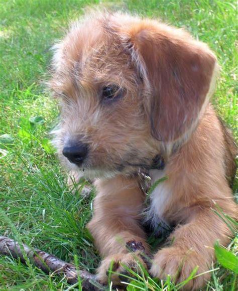 pug beagle terrier mix best 25 beagle mix ideas on beagle mix puppies golden retriever mix and