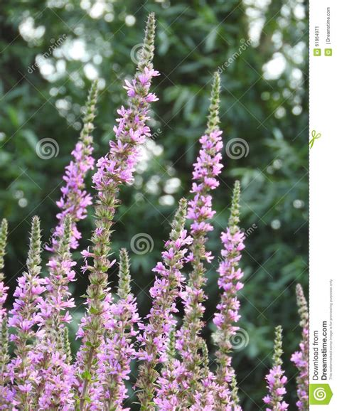 Small Purple by Small Purple Flowers Of Plants Stock Photo Image