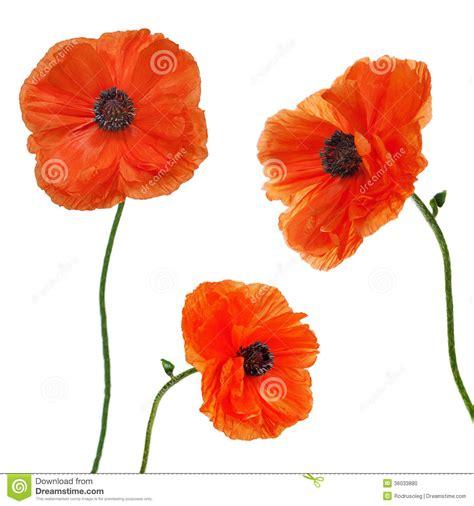 imagenes de rosas solas sistema de solas flores de la amapola aisladas en el fondo
