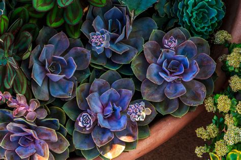 Kitchen Design Basics by Growing Echeveria Succulents