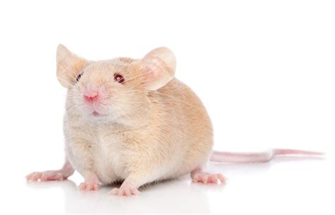 pet mouse related keywords pet mouse long tail keywords