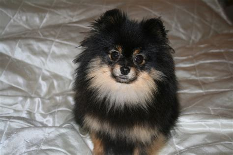 black and pomeranian pomeranian black and