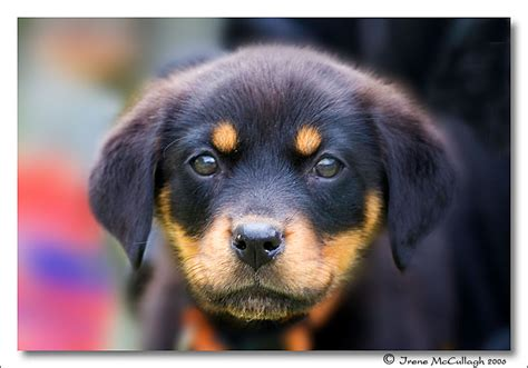 another name for rottweiler image gallery mini rottweiler