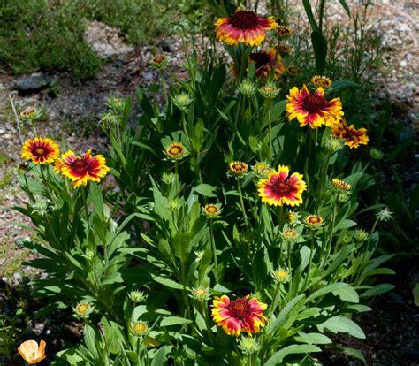Gaillardia Pulchella Auntie Dogma S Garden Spot Indian Garden Flowers