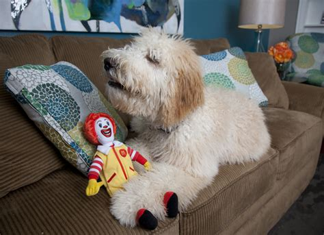 the dog house little rock mac the goldendoodle creates smiles at ronald mcdonald