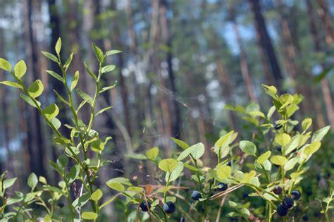 Pflanzen Kaufen by Waldheidelbeerenpflanzen Kaufen 187 Wissenswertes