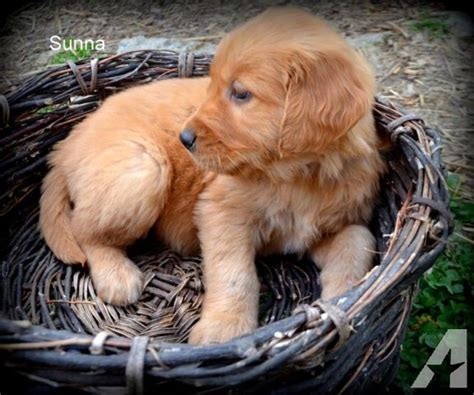 golden retriever puppies for sale in nc greensboro golden retriever puppies nc for sale