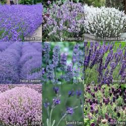 10 type lavender flower herb seeds lavandula mix