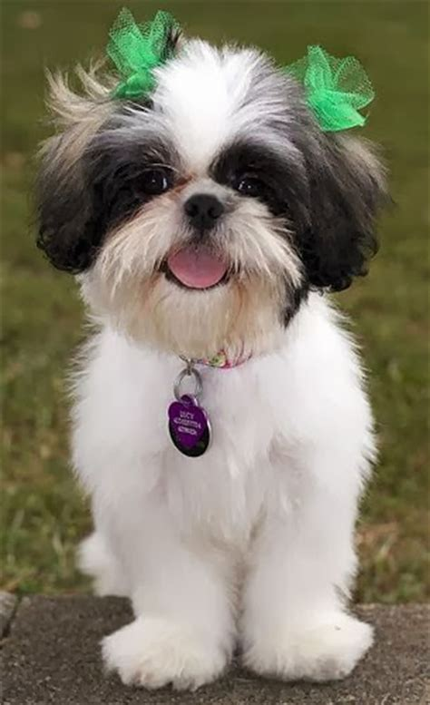 cute cuts for shih tzus cute puppy and dog shih tzu hairstyles