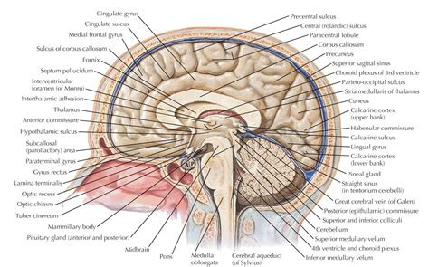 section of the brain brain cross section diagram anatomy organ