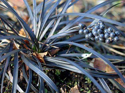schlangenbart gras schwarzbl 228 ttriger schlangenbart niger ophiopogon