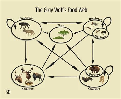 wolf food gray wolf food chain