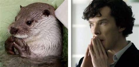 Cumberbatch Otter Meme - clooney s 셜록 수달