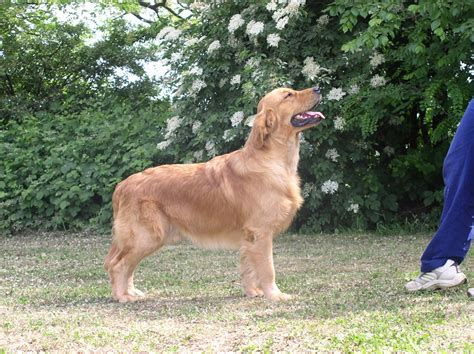 charis golden retrievers royal crest gold n eagle quot scooby quot i miei cani allevamento maggie s tales