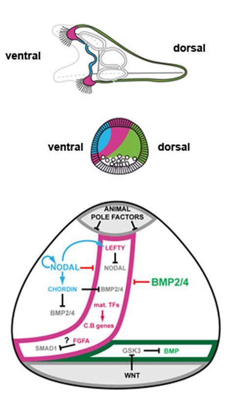 pattern formation ectoderm sea urchin development embryology