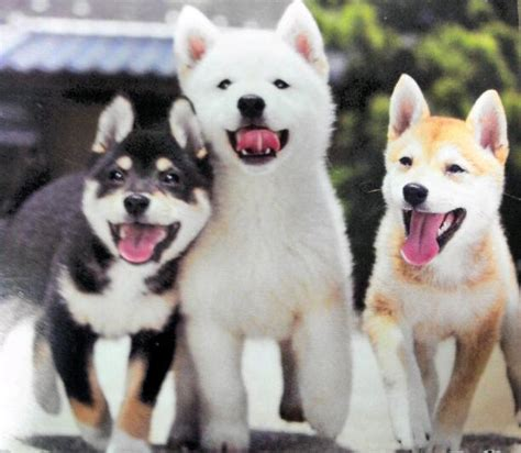 shiba inu colors shiba inu puppies one in each color all