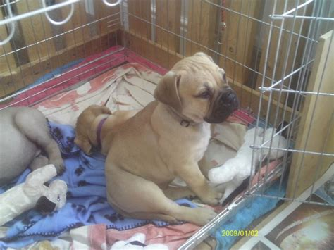 bullmastiff puppies for sale bullmastiff puppies for sale stratford upon avon warwickshire pets4homes