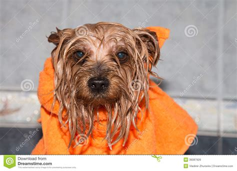 how to bathe yorkie puppy terrier with orange towel royalty free stock images image 36087929