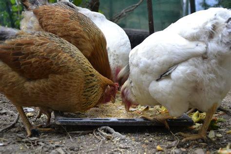 galline ovaiole alimentazione galline ovaiole allevamento e cure idee green