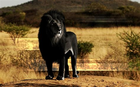 wallpaper black lion black lion hd wallpaper beautiful black lion wallpapers