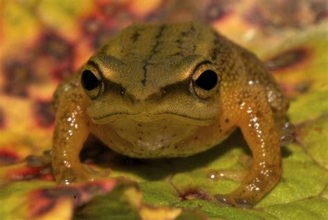 Find In Colombia New Golden Frog Species Discovered In Colombia