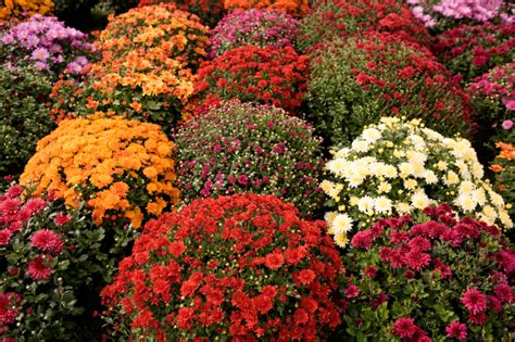 fall flower gardens ideas for fall container gardens garden guides
