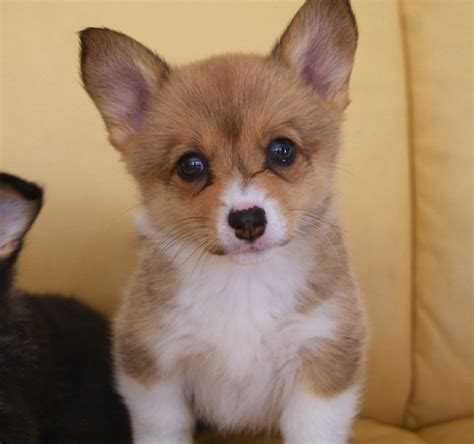 corgi puppies for sale corgi cottage canines australia