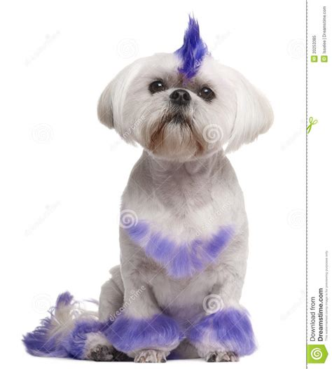 shih tzu mohawk shih tzu with purple mohawk 2 years royalty free stock photo image 20253385