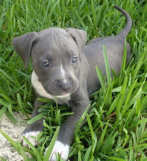grey and white pitbull puppy pin grey pitbull puppies on