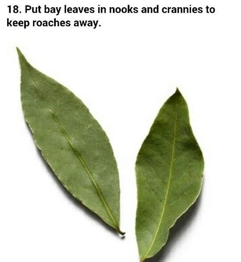 Pantry Moths Bay Leaves by 17 Best Images About Bug On Cockroach