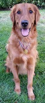 golden retriever breeders island golden retriever breeders island dogs our friends photo