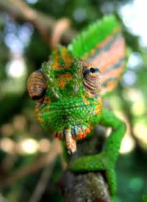 lizard that changes colors how do chameleons and other creatures change colour