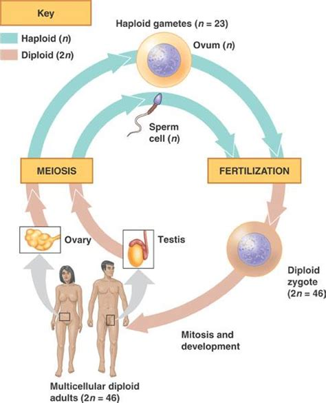 this diagram of the human cycle shows that biology 301m gt fritz gt flashcards gt 1 studyblue