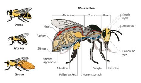hornet cycle diagram honey bee biology ode to bees