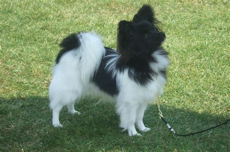 pomeranian mixed with papillon paperanian papillon pomeranian mix puppies info care pictures