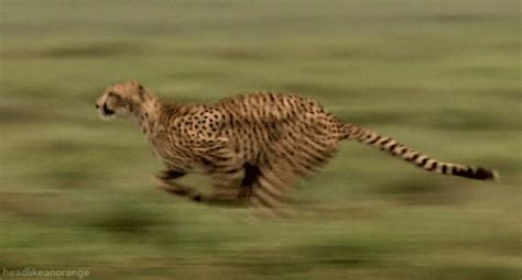 imagenes gif jaguar cheetah running gifs find share on giphy