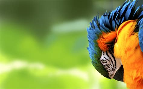 wallpaper full hd parrot colorfull hd parrot wallpapers hd nature wallpapers