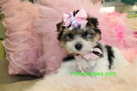 morkie puppies for sale mn bightsecn morkie puppies for sale in minnesota