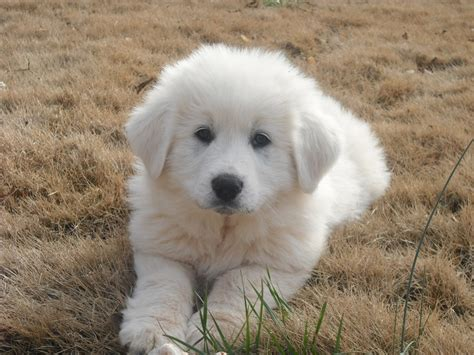 grand pyrenees puppies great pyrenees puppy animals