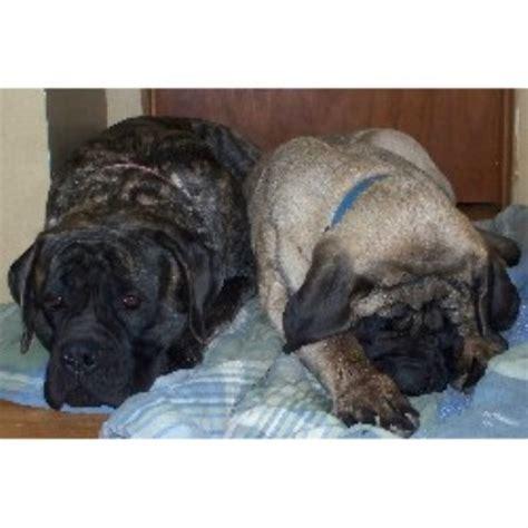 puppies for sale in dubuque iowa mastiff breeders in iowa freedoglistings