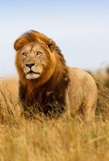 minicuentos de leones y significado de los sue 241 os con leones so 241 ar con el liderazgo