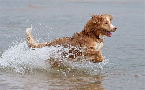 dogs water scotia duck tolling retriever wallpapers hd