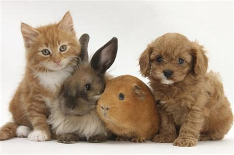 how to a pig pup cavapoo cavalier king charles spaniel x poodle puppy with rabbit guinea pig and