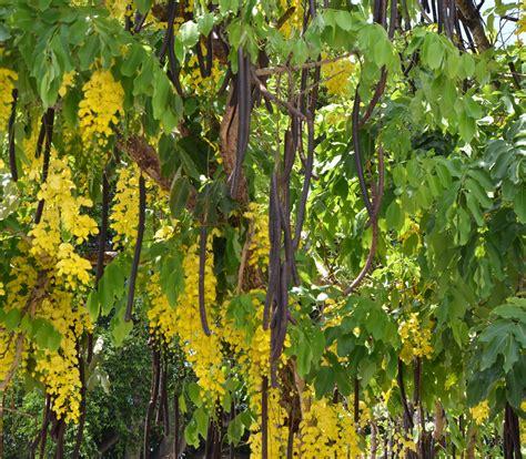 Shower Tree by Golden Shower Tree Cassia Fistula Seeds